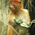 Proboscis-Monkey1