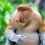 Proboscis-Monkey2