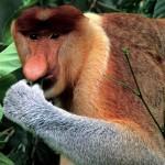 Proboscis-Monkey3