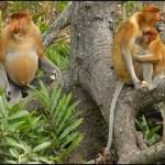 Proboscis-Monkey4