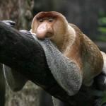 Proboscis-Monkey6