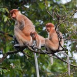 Family of Proboscis Monkeys (Nasalis larvatus) by Kinabatangan R