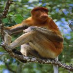 Proboscis monkey feeding in Mangrove tree   Original Filename: 88507146.jpg